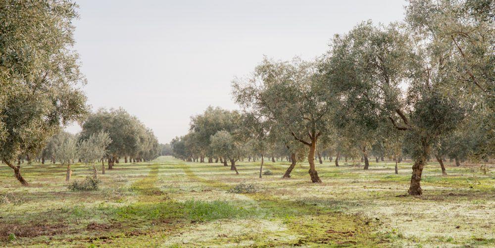 olivar con cubierta vegetal