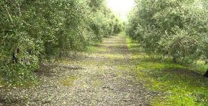 manejo suelo olivar